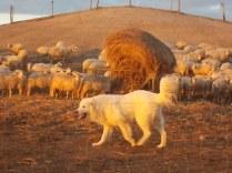 pecore, crete senesi, tramonto (12)