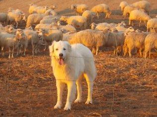 pecore, crete senesi, tramonto (13)