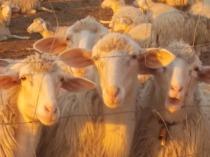 pecore, crete senesi, tramonto (2)