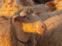 pecore, crete senesi, tramonto (3)