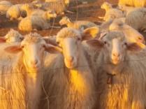 pecore, crete senesi, tramonto (4)