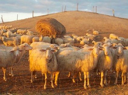 pecore, crete senesi, tramonto (5)