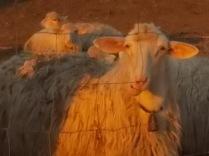 pecore, crete senesi, tramonto (6)
