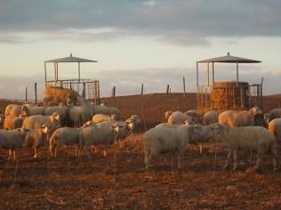 pecore, crete senesi, tramonto (7)