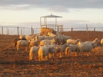 pecore, crete senesi, tramonto (8)