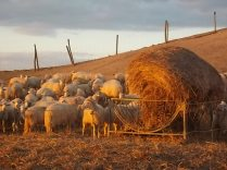 pecore, crete senesi, tramonto (9)