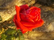 vertine rosa dicembre (11)