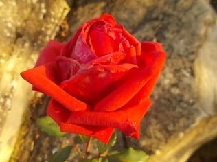 vertine rosa dicembre (12)