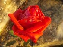 vertine rosa dicembre (13)