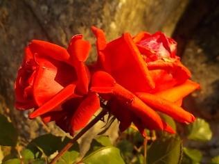 vertine rosa dicembre (15)