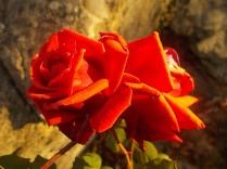 vertine rosa dicembre (16)