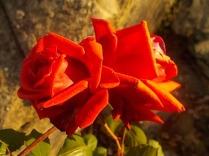 vertine rosa dicembre (17)