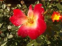 vertine rosa dicembre (3)