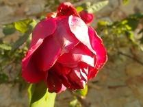 vertine rosa dicembre (5)