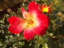 vertine rosa dicembre (6)