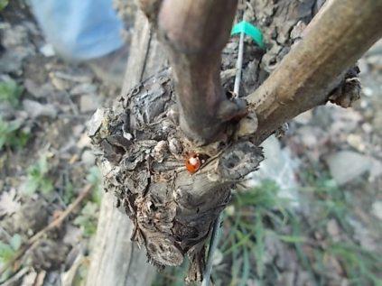 coccinella bella (1)