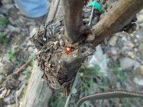 coccinella bella (2)
