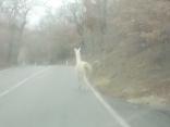 il lama dell'osteria della passera, gaiole, chianti, strada 408 (4)