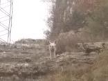 il lama dell'osteria della passera, gaiole, chianti, strada 408 (6)