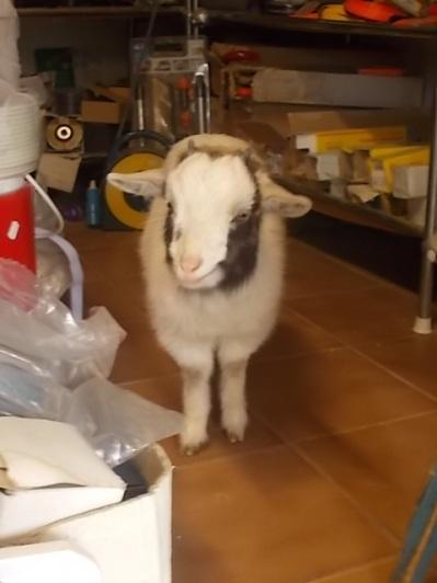 la capretta tibetana (11)