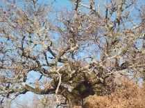 querce spoglie vertine (1)