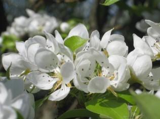 fiore-di-pero