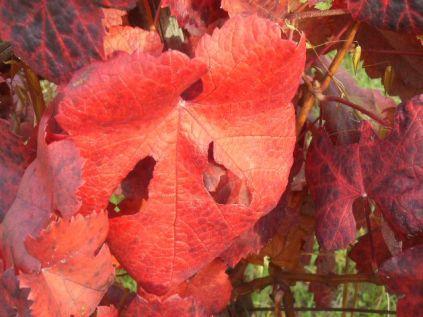 flavescenza dorata foglie di sangiovese (1)