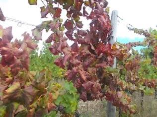 flavescenza dorata foglie di sangiovese (10)