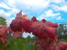 flavescenza dorata foglie di sangiovese (13)