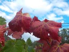 flavescenza dorata foglie di sangiovese (14)