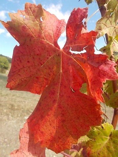 flavescenza dorata foglie di sangiovese (15)