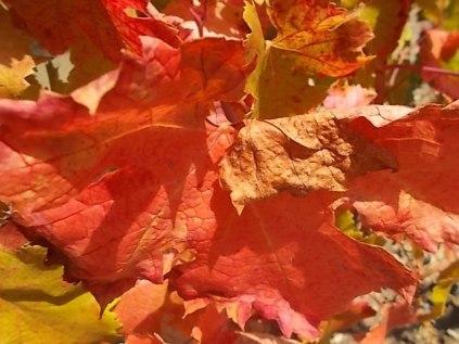 flavescenza dorata foglie di sangiovese (16)