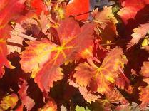 flavescenza dorata foglie di sangiovese (18)