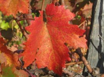 flavescenza dorata foglie di sangiovese (3)