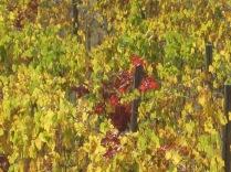 flavescenza dorata foglie di sangiovese (4)