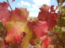 flavescenza dorata foglie di sangiovese (5)
