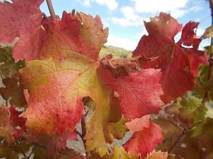 flavescenza dorata foglie di sangiovese (6)