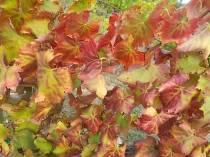 flavescenza dorata foglie di sangiovese (7)