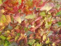 flavescenza dorata foglie di sangiovese (8)