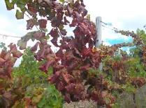 flavescenza dorata foglie di sangiovese (9)
