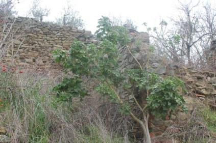 geranio ad alberello castello di montecchio (1)
