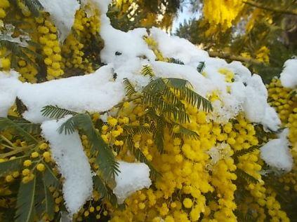 mimosa con la neve (1)