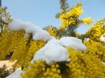 mimosa con la neve (10)