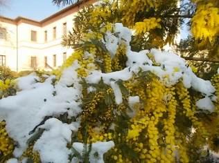 mimosa con la neve (3)