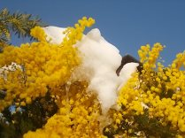 mimosa con la neve (4)