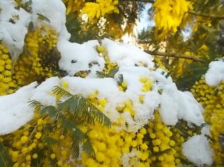 mimosa con la neve (5)