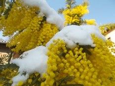 mimosa con la neve (6)