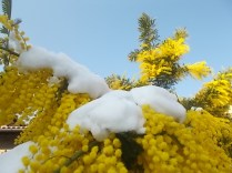 mimosa con la neve (8)