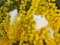 mimosa con la neve (9)