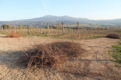 montalcino, le vigne non recintate del brunello (12)